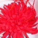 Feather Chrysanthemum Red