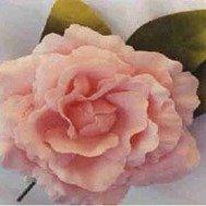 Old Fashion Pink Rose