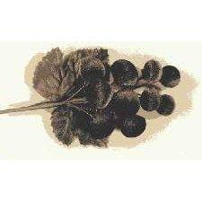 Velvet Grapes Black